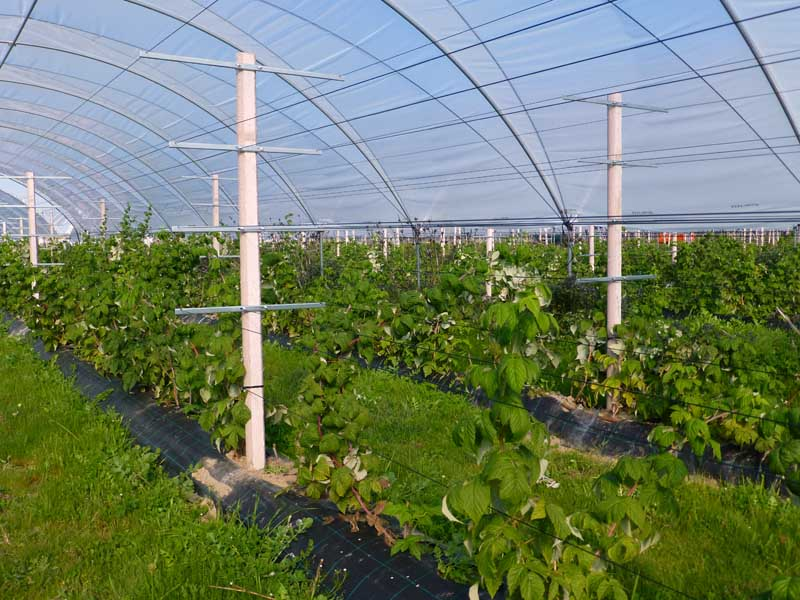 Plantation of red fruits with poles / mainstays Previcon