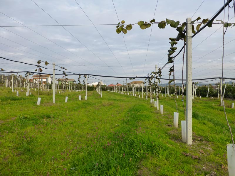 Planting Kiwis with Concrete Poles / Mainstay Previcon