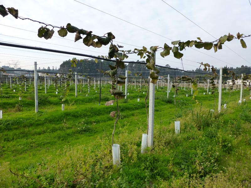 Poles / Mainstay Previcon - Planting Kiwis